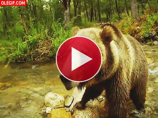 GIF: Este oso tiene hambre