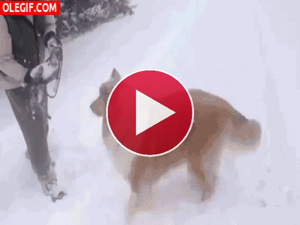 A este perro le gusta jugar con la nieve