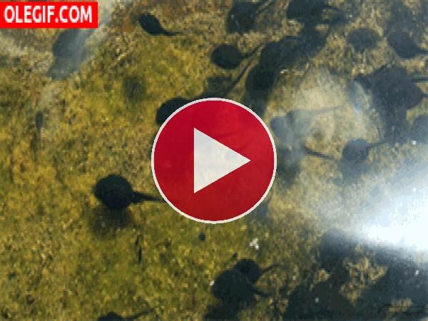 GIF: Renacuajos en el agua