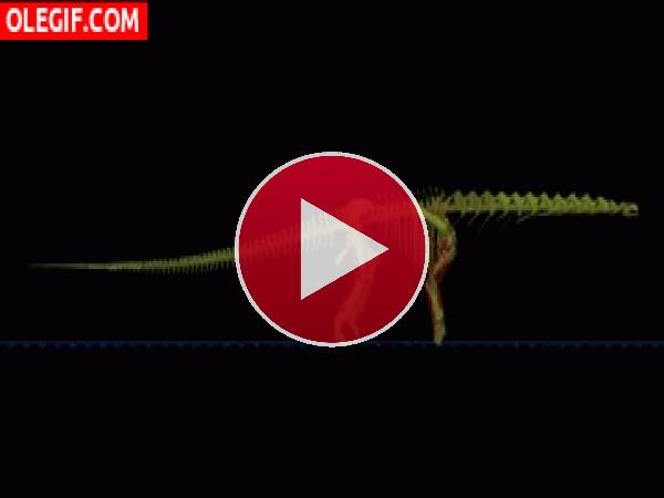 GIF: El esqueleto de un diplodocus caminando