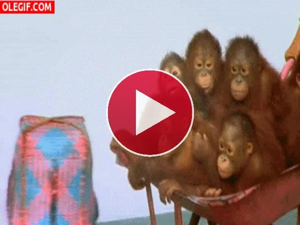 Pequeños orangutanes en una carretilla