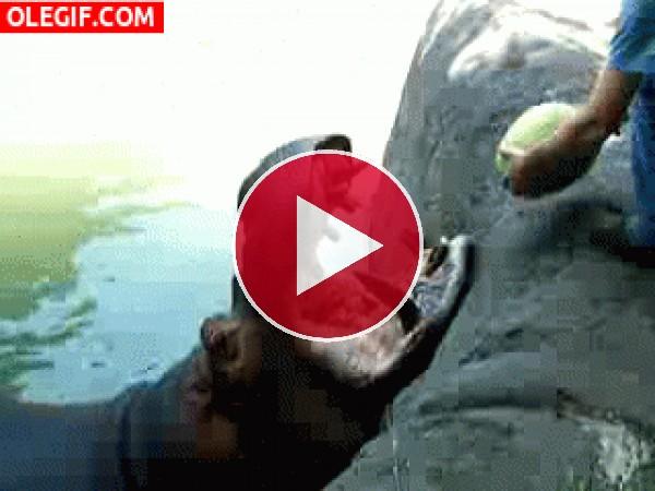 GIF: A este hipopótamo le gusta la sandía