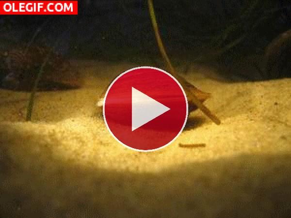 Almeja saliendo de la concha