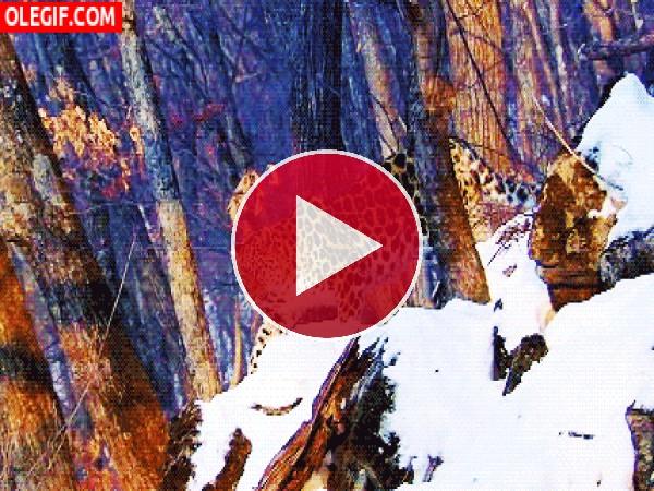 GIF: Leopardo caminando en un bosque nevado