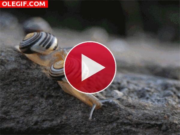 GIF: Pelea de caracoles