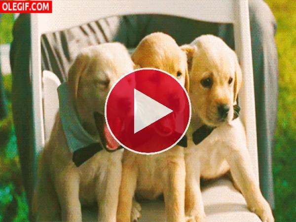 GIF: Estos cachorros tienen sueño