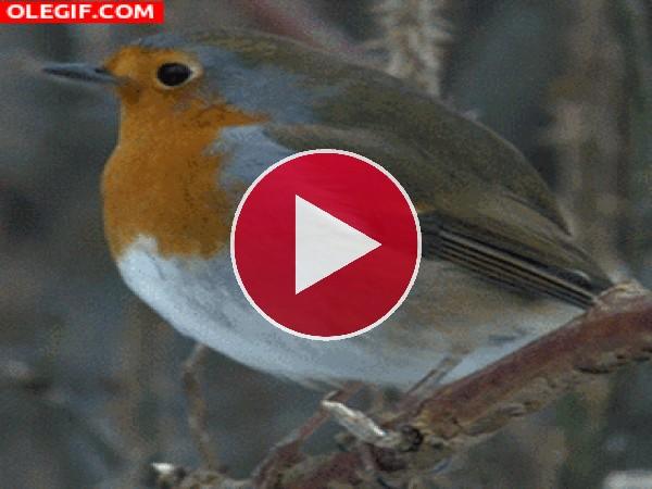 GIF: Un petirrojo moviéndose en la rama