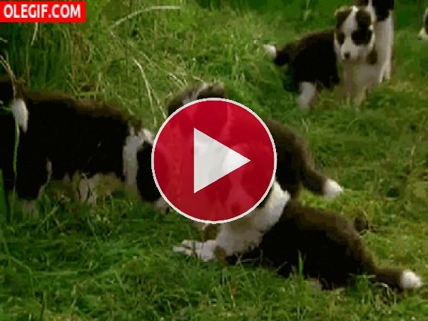 Estos cachorros disfrutan en la hierba