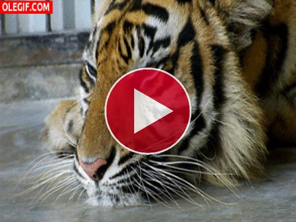 GIF: Mira cómo parpadea este tigre