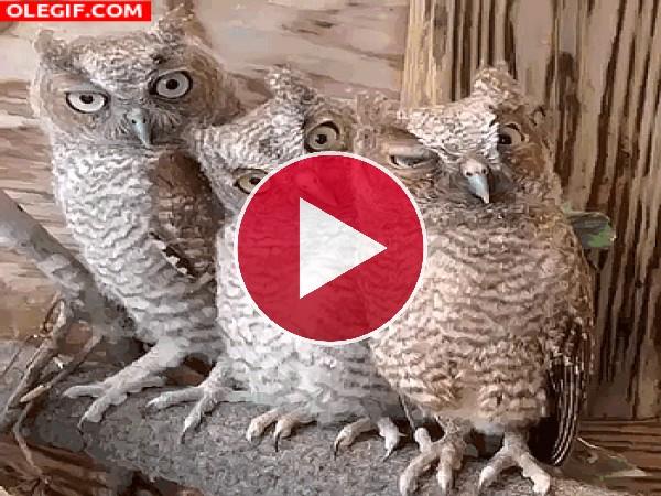 GIF: Tres simpáticos búhos