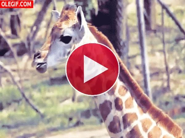 GIF: Esta jirafa no para de sacar la lengua
