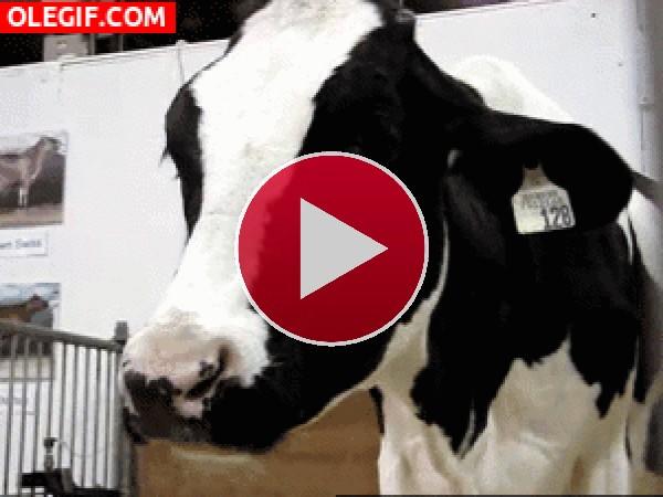 Una vaca rumiando