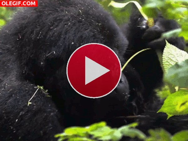 GIF: Gorila comiendo hojas
