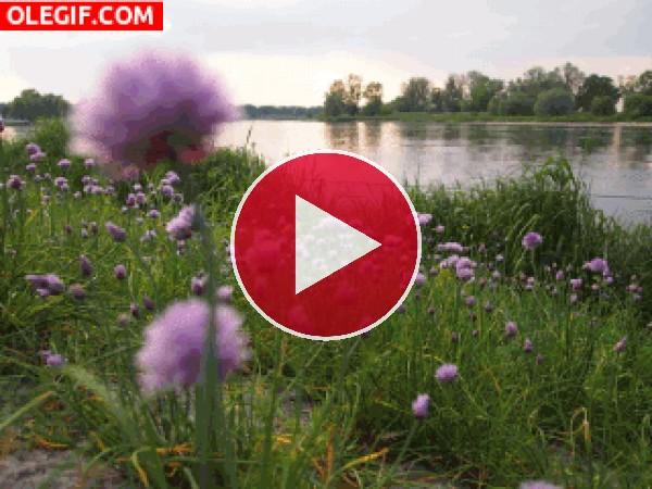 GIF: Flores junto al río