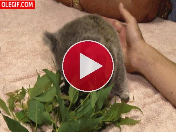 Mira a este pequeño koala comiendo