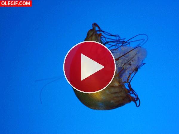 GIF: Los movimientos de una medusa