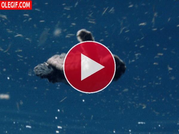 Pequeña tortuga nadando contra corriente