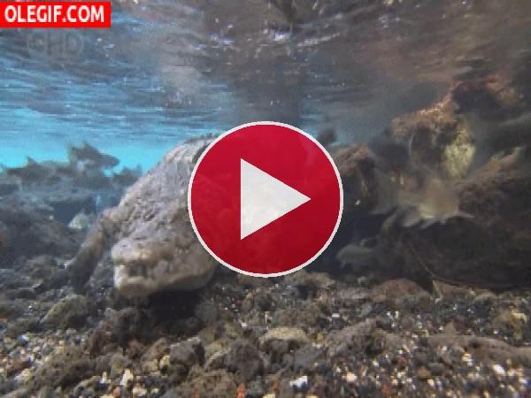GIF: Cocodrilo bajo el agua