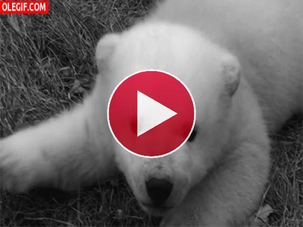 GIF: Mira a este lindo osezno polar