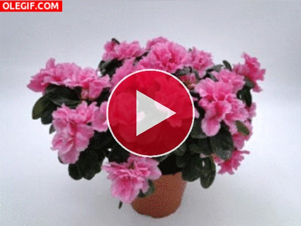 GIF: Maceta de azaleas