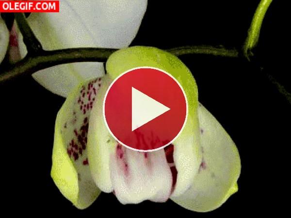Orquídea abriendo los pétalos