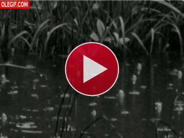 GIF: Llueve en el estanque