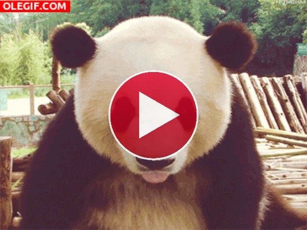 GIF: Un panda haciendo burla