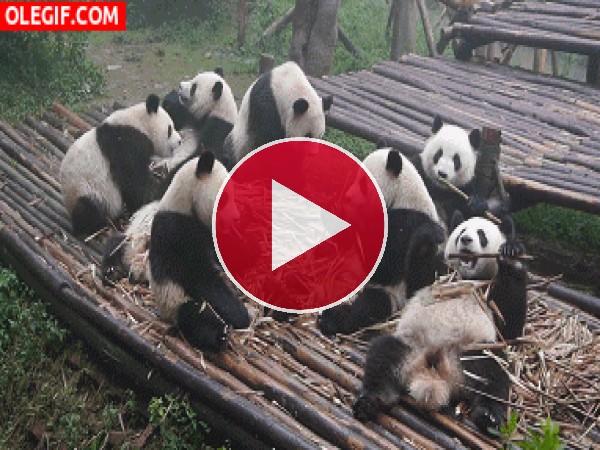 Estos pandas se están dando un festín