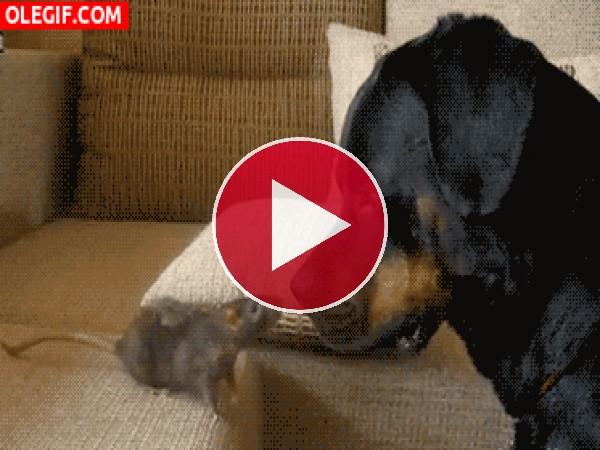 Esta rata da miedo