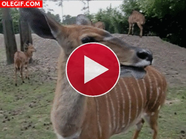 La cara chistosa del antilope