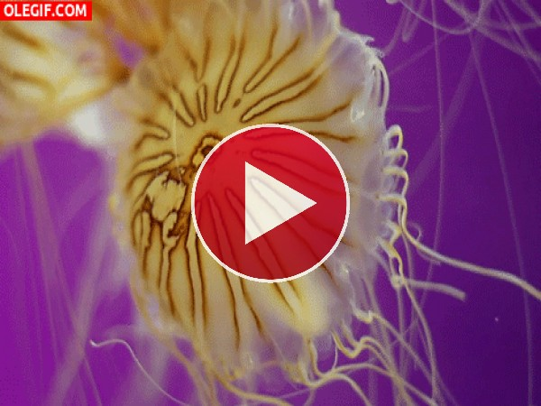 El movimiento de una medusa Chrysaora hysoscella