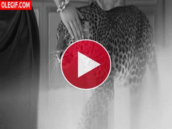 GIF: Acariciando a un leopardo