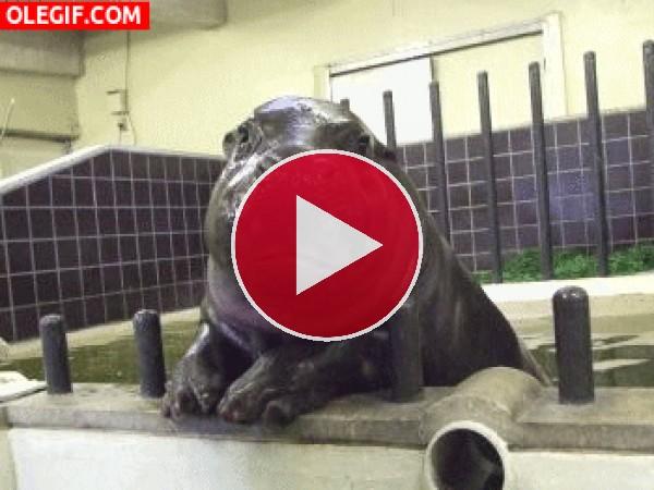 Un pequeño hipopótamo