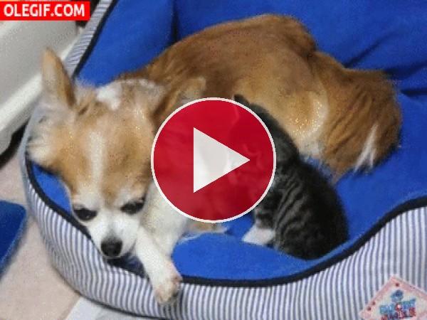 Gatito jugando con el perro