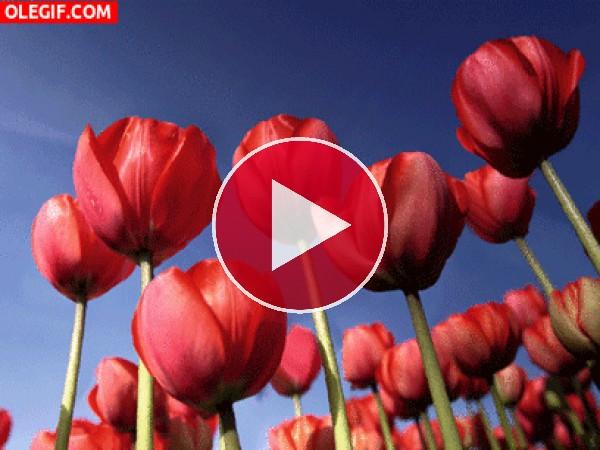 Tulipanes en el campo