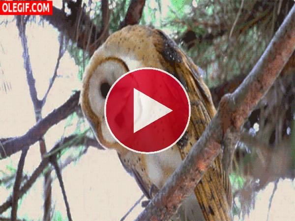 GIF: Lechuza moviéndose en la rama