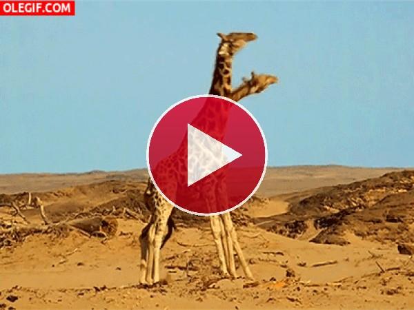 GIF: Estas jirafas están estresadas