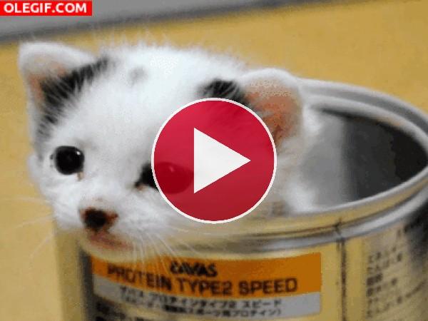 Gatito maullando dentro de una lata