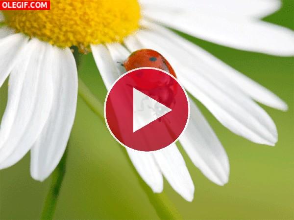 Mariquita sobre los pétalos blancos de una margarita