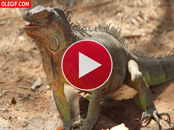 Iguana moviendo la boca