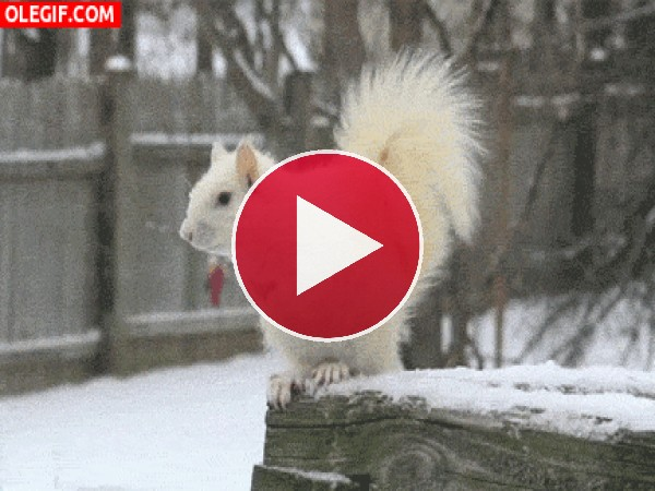 Mira a esta ardilla blanca en la nieve