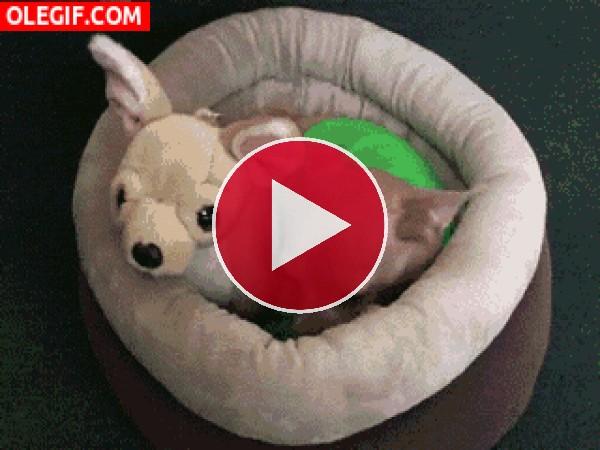 Chihuahua durmiendo con su amigo