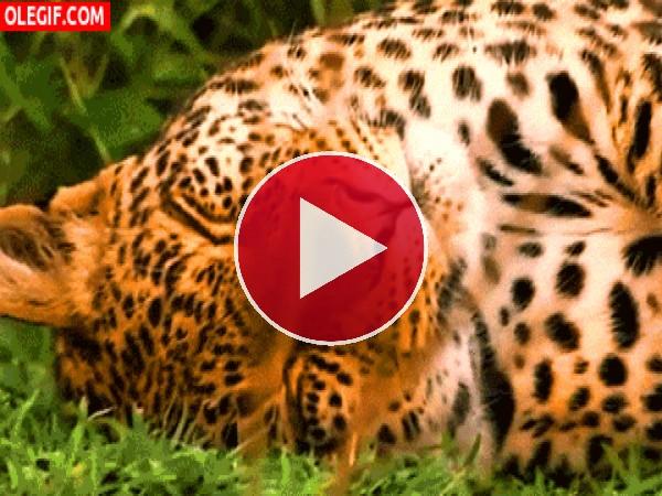 GIF: Leopardo descansando sobre la hierba