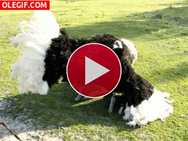 GIF: ¿Qué le pasa a la avestruz?