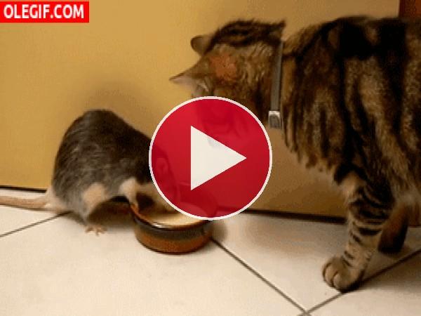 GIF: A esta rata no le gusta compartir