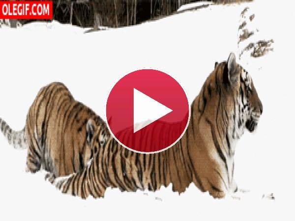 GIF: Un tigre juguetón