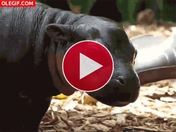 GIF: Mira a este pequeño hipopótamo