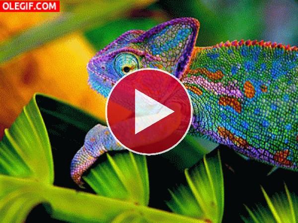 Camaleón cambiando de color
