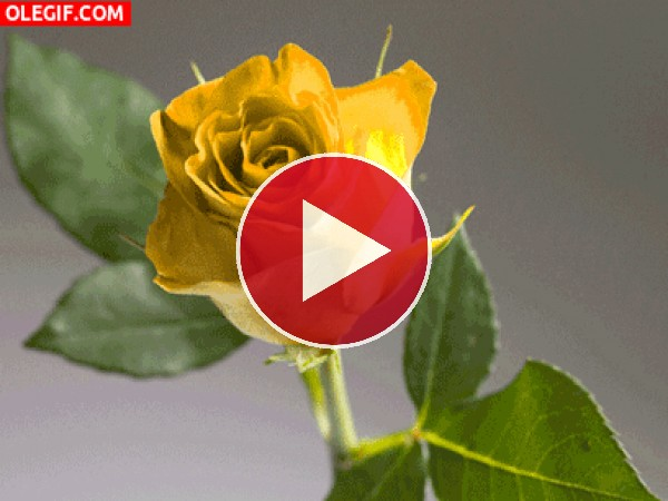 GIF: Contemplando una rosa amarilla