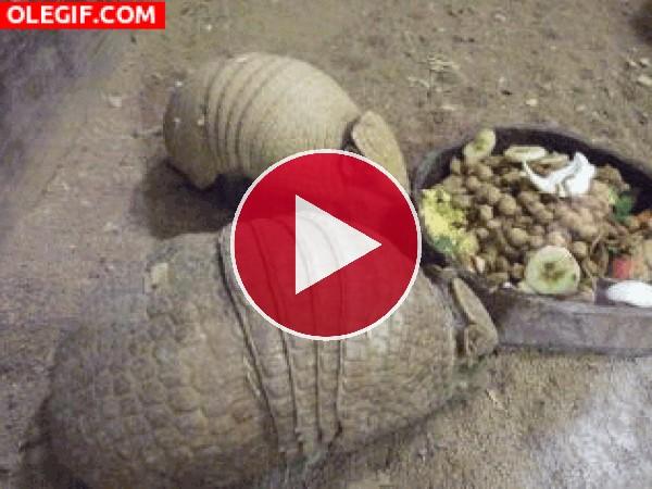 Mira a estos armadillos comiendo